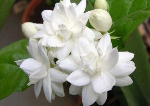 jasmine 2.jpg