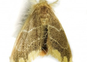 0_.archivetempFigure 4b - Orvasca cf. subnotata. Imago with wings slightly relaxed, showcasing the three spots bordering the forewing.jpg