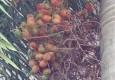 ನೋಡಲು ಅಡಕೆ, ಇದರಲ್ಲಿ ತಿನ್ನಲಿಕ್ಕಿಲ್ಲ ಅಡ- Article by Perooru Jaru